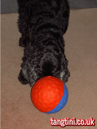 Canac treatball being pushed around by English Cocker Spaniel, Holly.