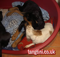 Fudge (a rottweiler puppy) and tango playing