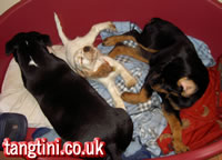 A basket of fun, a cocker, a rottweiler and a staffordshire bull terrier playing together