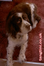 Scooby, our English Springer Spaniel
