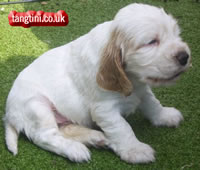 English Cocker Spaniel Tango at 21 days Old