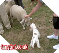 Nice to meet Ewe! Tango on a farm socialisation walk at Roger Mugfords.