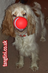 I can do red nose day too. This is the end of a dumb bell after Tango chewing away the rest of it.