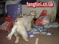 How much fun can an English Cocker Spaniel have opening presents???.....