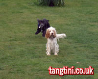 Playful Englidh Cocker Spaniels waiting for a stick to be thrown